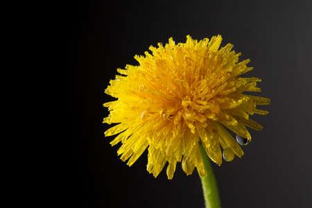 Close up beautiful bloom yellow dandelion flower as background Фото со стока