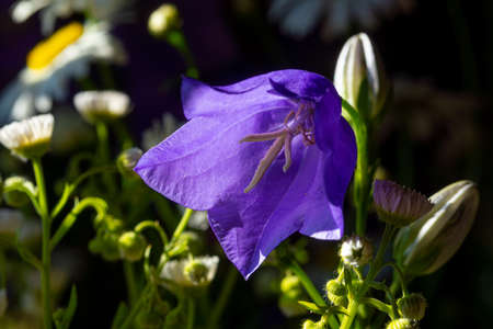 beautiful blooming blue bell in a Sunny glade