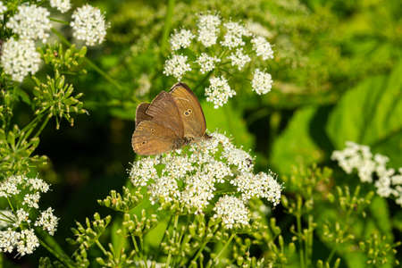butterflies on white flowers feed on sweet nectar