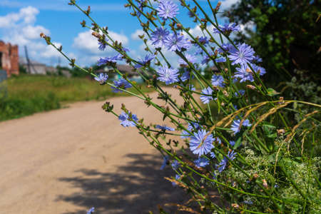 blooming chicory on the edge of the road in the village