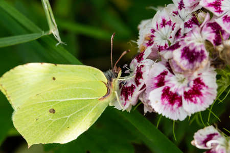a yellow butterfly drinks nectar from a flower macro