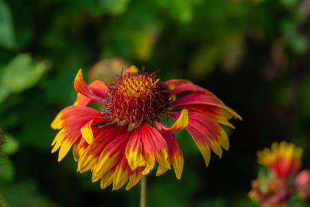 Beautiful yellow red flower on a background of green grass macro Фото со стока