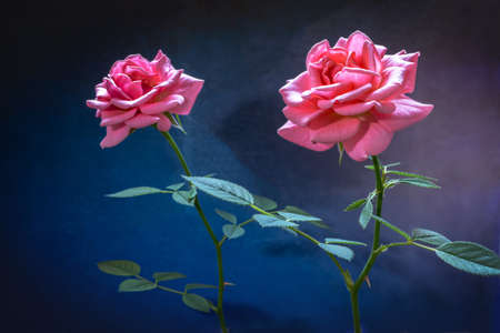 Two beautiful pink roses on a dark background