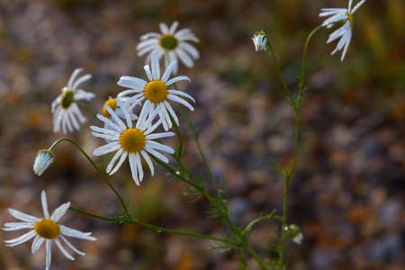 the last autumn daisies that stood after the morning frost Фото со стока