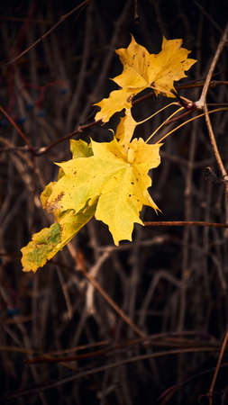 the last yellow autumn leaves still hanging on the branch