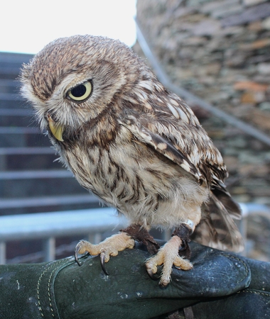 Little Owl (Athene noctua). Falconry Reklamní fotografie