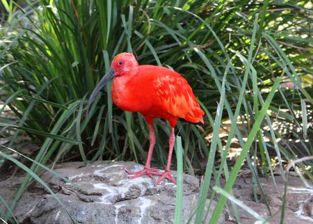 The scarlet ibis (Eudocimus ruber)
