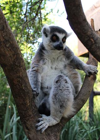 Ring-tailed lemur (Lemur katta) Фото со стока