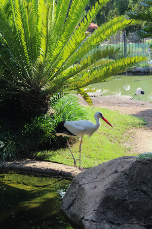 White stork (Ciconia ciconia) at a bird park in South Africa
