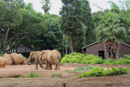 Two walking elephants at ZOO Pretoria, South Africa Imagens