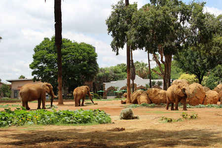 african elephants at zoo pretoria south africa stock photo picture