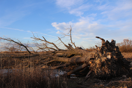 Landscape - after storm - big tree uprooted by a big storm