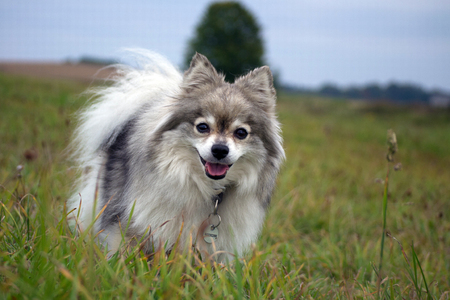 Laughing dog in the grass