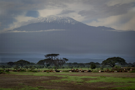 Cattle on the pasture and in the background Kilimanjaro Reklamní fotografie