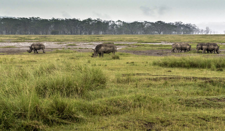 nakuru: Rhinoceros grazing in Lake Nakuru National Park