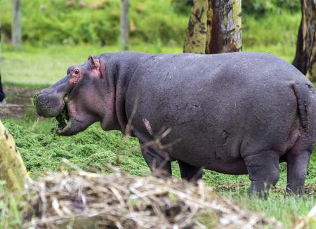 nakuru: Hippopotamus on the shore of Nakuru lake Stock Photo