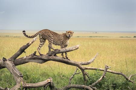 Cheetah on a branch in Masai Mara Park 版權商用圖片