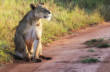 Lioness sitting on a path in the taitahills park at sunrise