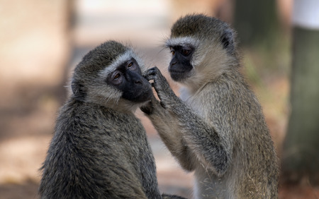 Two Vervets performs morning hygiene in Tsavo National Park West in Kenya Stock Photo