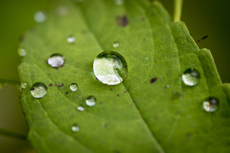 Large drop of water in the middle of a small green leaf