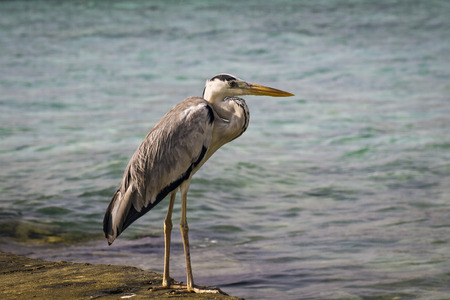 A heron in the sea, waiting for prey