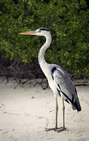 Heron standing on the beach in front of a dense bush early in the morning