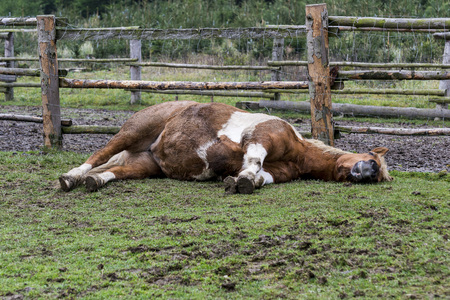and brown horse lying on grass in a small farm