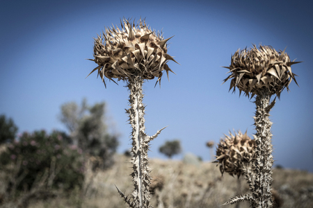 dry thistles against the blue sky on the island of Kos Stock Photo