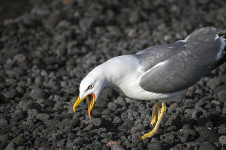 gray-and-white seagull with a yellow open beak on a lava beach on Stromboli Island, Italy 스톡 콘텐츠