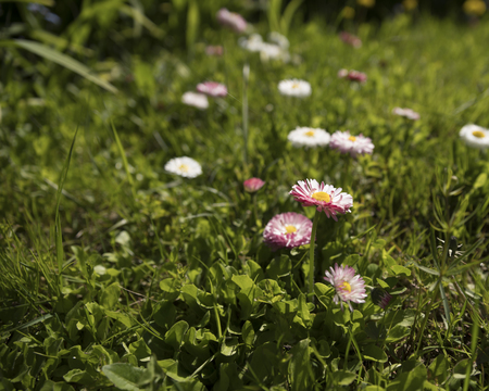 marguerite: Daisy in the green grass in the spring. Stock Photo
