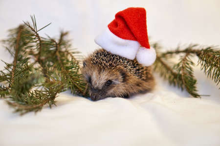 Santa claus hedgehog. New Year, Christmas with hedgehog in trees. Pine branches