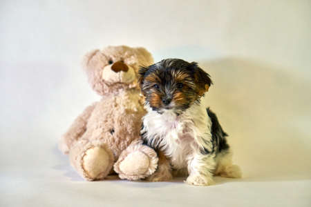 Puppy beaver york sits with a teddy bear on a white background. Insulator dog.