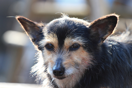 pug nose: portrait of little dog sun backlight blur sharpness Stock Photo