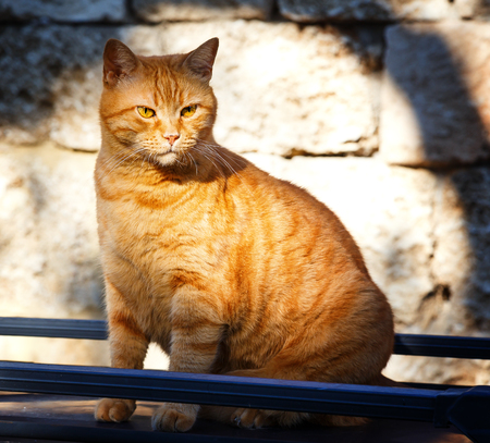 Cat sitting on a street. Big serious street ginger cat. Lonely cat on the street watching into nowhere. Street cat sitting outdoor.