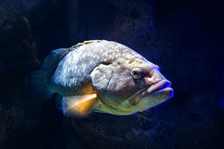 Giant grouper Epinephelus lanceolatus , also known as banded rockcod.