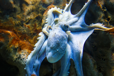 Blue octopus tentacles spread out on the rocks under the water at the bottom of ocean