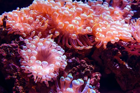 Marine life sea pink anemone Condylactis gigantea underwater in the sea. Nature background.