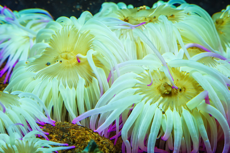Tiger Anemone Nemanthus annamensis amazing colorful sea creatures underwater. Incredible natural background