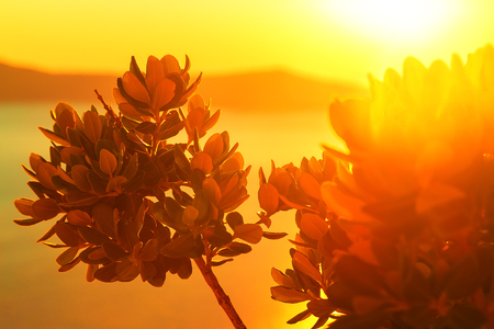 The sun filtering through the leaves in the amazing sunset on the island of Santorini, Greece