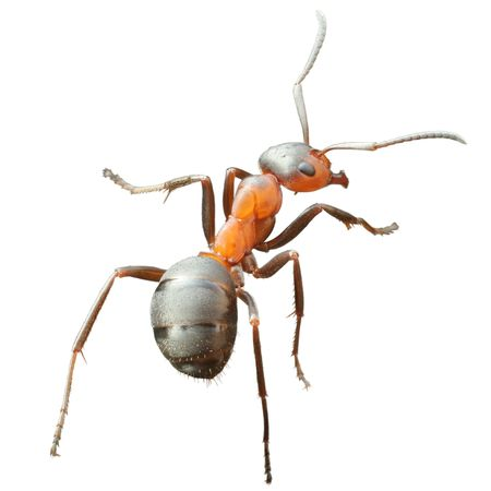 ant: ant formica rufa isolated Stock Photo