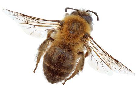 Biene isoliert