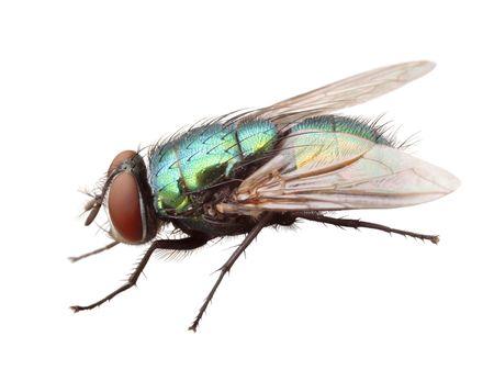 housefly: housefly isolated.Lucilia sericata