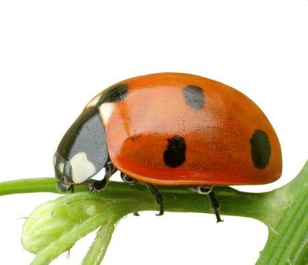 ladybug isolated Stock Photo - 6670049