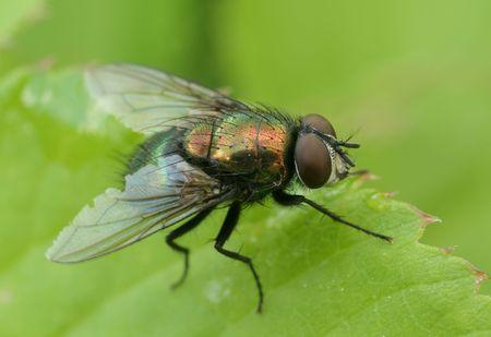 malady: Housefly.Lucilia sericata