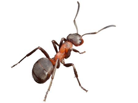 crawling animal: ant formica rufa isolated Stock Photo