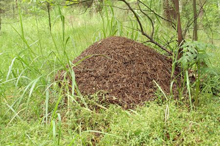 anthill: anthill in forest Stock Photo