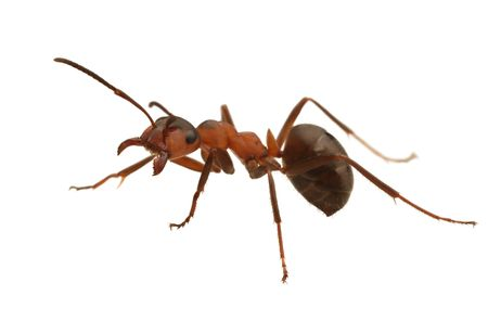 흰색에 고립 된 개미입니다. Formica rufa