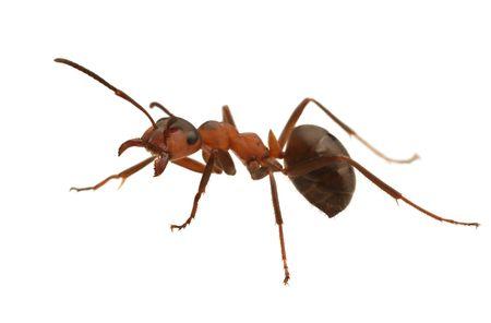 Hormiga aislado en white.Formica rufa