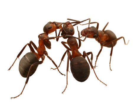 hormiga: hormigas aisladas en blanco Foto de archivo