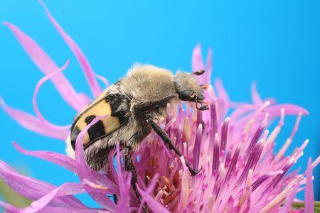 Beetle.Trichius orientalis Stock Photo - 6793634